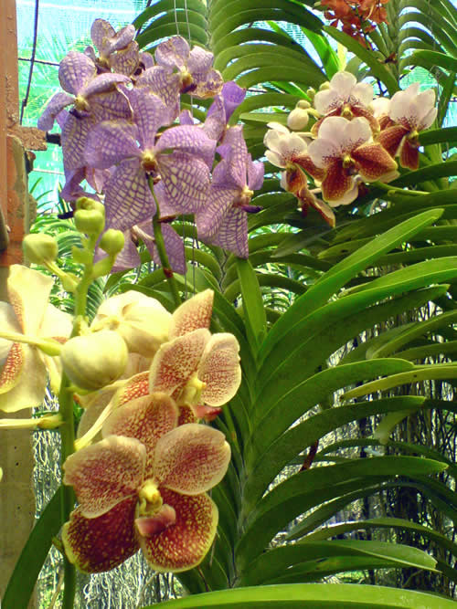 orchid gallery moalboal